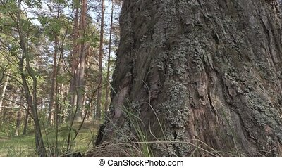 old big pine tree in the forest.