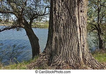 Old big tree by lake