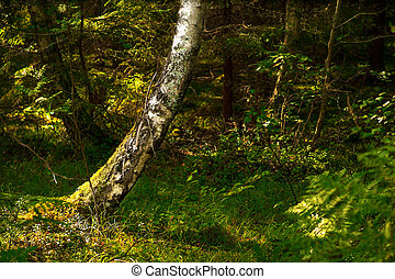 old birch tree