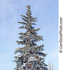 Old blue spruce covered with snow against of the sky