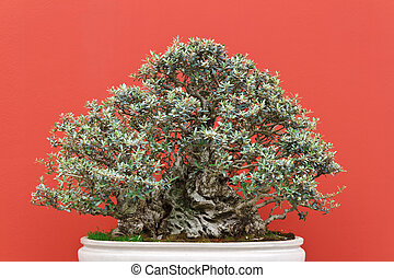 old bonsai tree