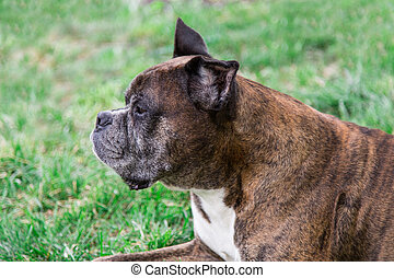 old boxer dog lying in the grass