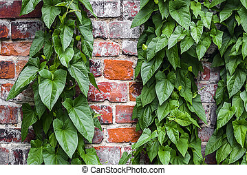 Old brick wall with a climbing green plant