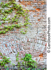 Old brick wall with green ivy creeper plant