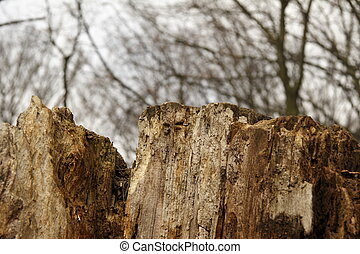 old brocken tree in the wood
