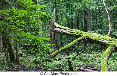 Old broken hornbeam tree moss wrapped lying