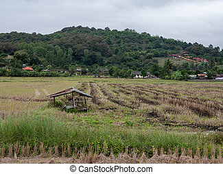 Old broken hut in the paddy field after the harvest.