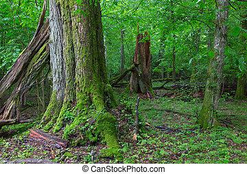 Old broken linden tree in summertime forest