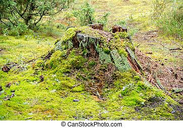 Old broken mossy tree stump