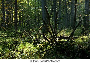Old broken tree in deep shadow of deciduous stand