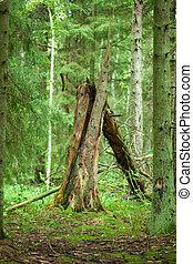 Old broken tree