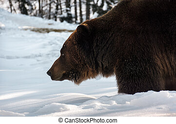 old brown bear hunting in winter forest. animal searching...
