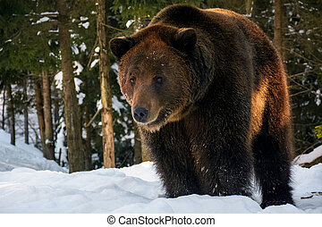 old brown bear stand in the winter forest - old brown bear...