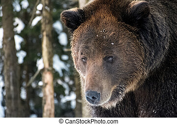 old brown bear staring somewhere. curious animal look. focus...