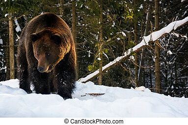 old brown bear walking in the winter forest - old brown bear...