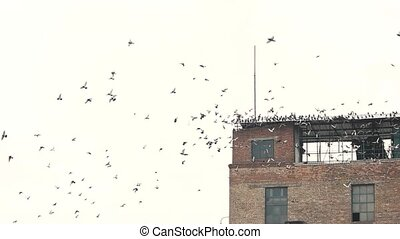 Old building and flock of birds. Many pigeons, slow motion....