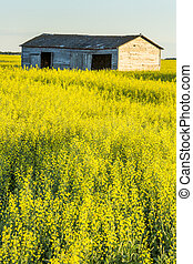 Old Building in Canola Field