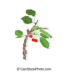 Old cherry branch with leaves