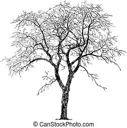 Old Cherry Tree Winter Silhouette, Vector Drawing or Illustration