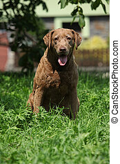 Old Chesapeake Bay Retriever - Beautiful old Chesapeake Bay...