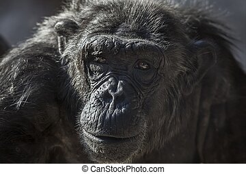 Old chimpanzee portrait