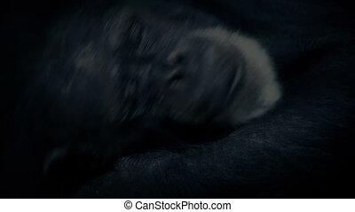 Old Chimpanzee Resting Closeup