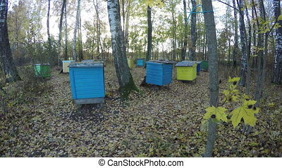 beehive group in autumn birch grove. Time lapse 4K - Old...