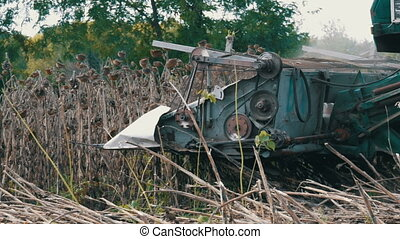 Old combine harvests dry sunflower on the field. Details of...