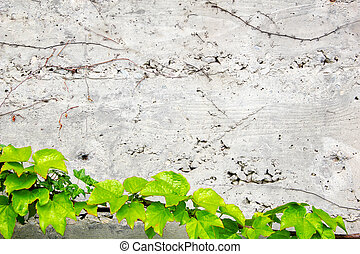 Old concrete wall covered with the green ivy