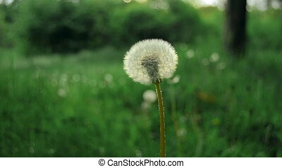 dandelion on a background of green grass