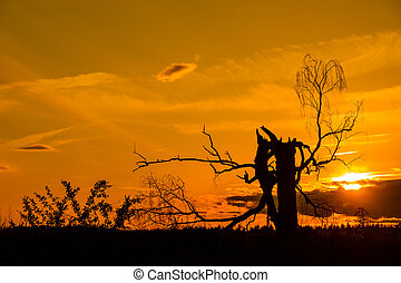 Old dead birch in sunset with sun