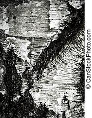 old dirty birch bark