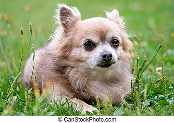Old dog Chihuahua in green grass on a summer day