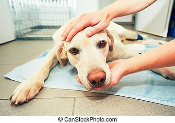 Old dog in veterinary clinic - Dog awakening from anesthesia...