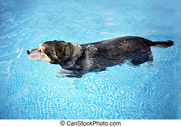 Old Dog Swimming in Backyard Swimming Pool for Exercise and...