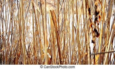Old dry reed swaying in the wind in winter on the background of a frozen lake covered with snow