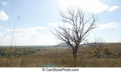 old dry tree in the autumn without leaves dry grass...