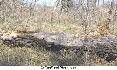 Old dry trunk of fallen tree on ground