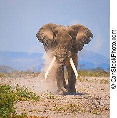 old elephant, amboseli national park, kenya