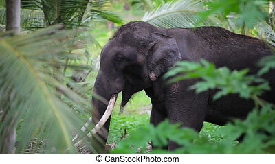 Old elephant in the jungle