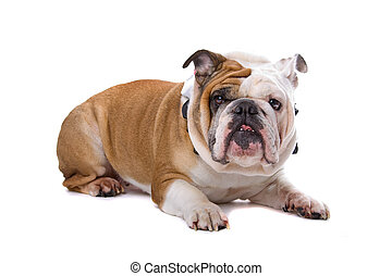 old English Bulldog - English Bulldog lying, isolated on a...
