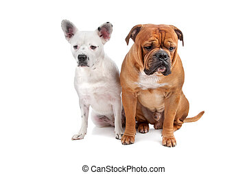Old english bulldog, mix french bulldog/cattle dog lying on...
