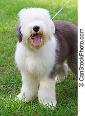 old english sheep dog standing in green grass field