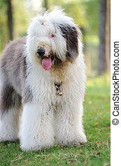 Old English sheepdog - An old English sheepdog standing on ...