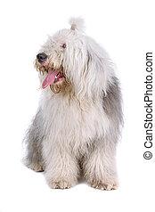 old english sheepdog, bobtail