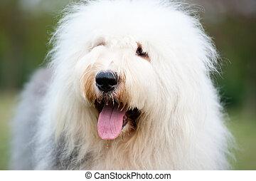 Old English sheepdog - Portrait of an old English sheepdog