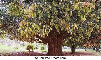 Big, mature, Sri Lankan ironwood tree, a rare and exotic hardwood, growing in a park near Kandy, Sri Lanka. 4k video