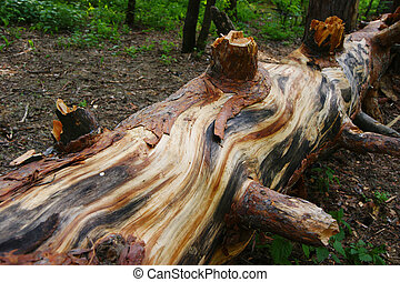 old fallen pine tree in the forest