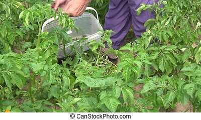 old female farmer hands pick pest larvae from potatoes...