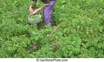 old female farmer hands pick pest larvae from potatoes...
